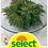 Thumbnail: Rose von Jericho - Selaginella lepidophylla