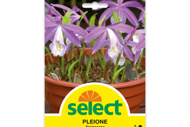 Pleione formosana - Gartenorchidee
