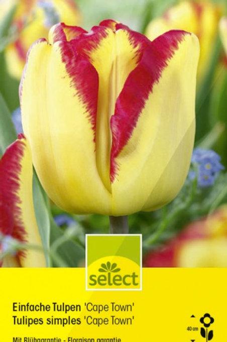Einfache Tulpen 'Cape Town'