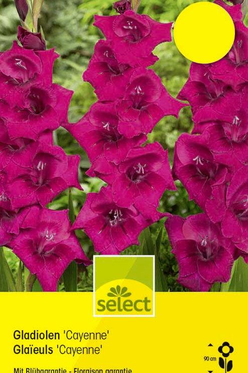 Gladiolen 'Cayenne' - Gladiolus