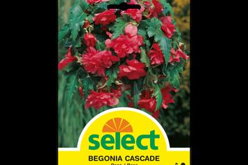 Begonie 'Cascade', rosa