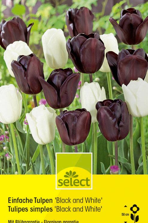 Einfache Tulpen 'Black & White' - Tulipa