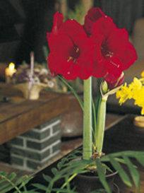 Ritterstern  im Topf scharlach - Amaryllis