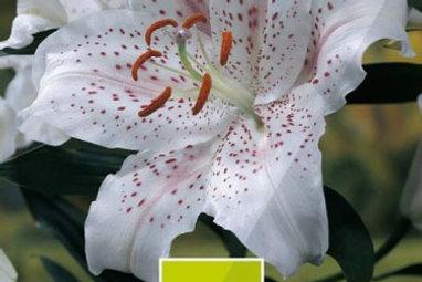Orientalische Lilien 'Muscadet'