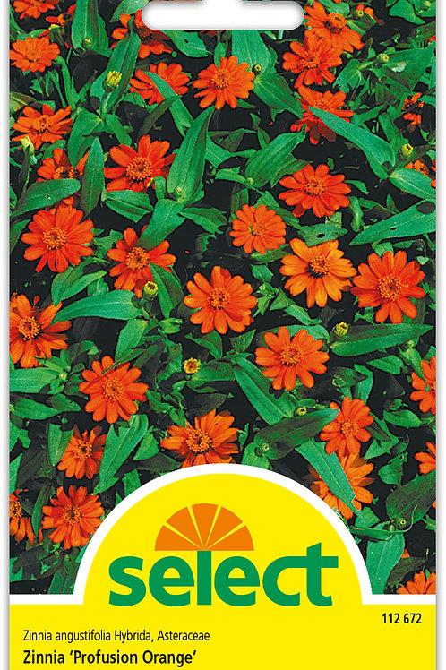 Zinnie 'Profusion Orange' - Zinnia angustifola