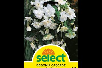 Begonie 'Cascade', weiss