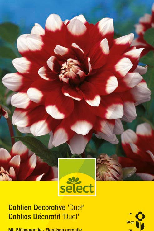 Dahlien Decorative 'Duet'