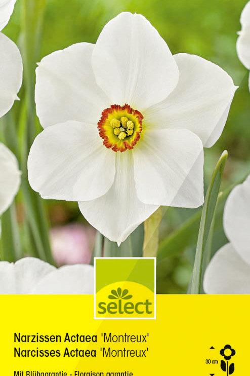 Wildnarzissen 'Montreux' - Narcissus