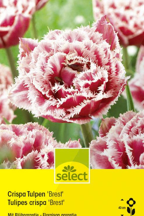 Crispa Tulpen 'Brest' - Tulipa