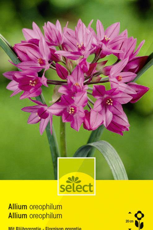 Zierlauch - Allium oreophilum