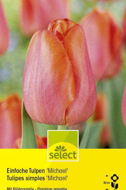 Einfache Tulpen 'Michael' - Tulipa