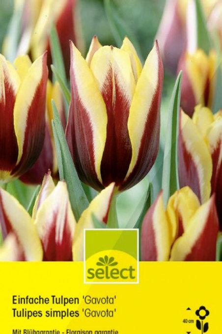 Einfache Tulpen 'Gavota'