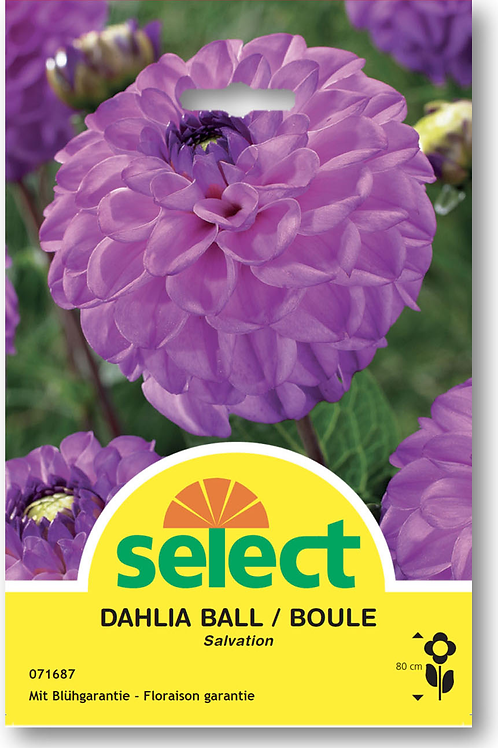 Ball-Dahlie 'Salvation' - Dahlia Ball