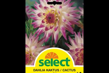 Kaktus-Dahlie 'Jura'