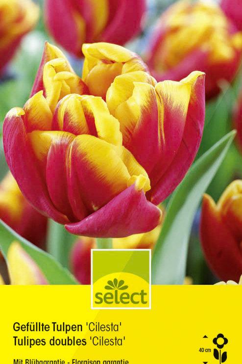 Gefüllte Tulpen 'Cilesta' - Tulipa