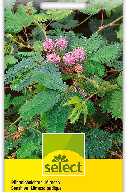 Rührmichnichtan, Mimose - Mimosa pudica