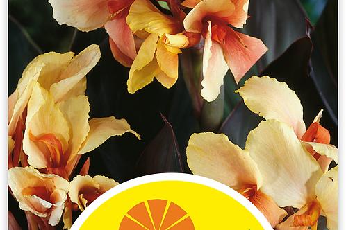 Indisches Blumenrohr 'Angel Martin'