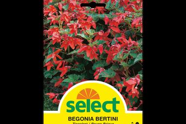 Begonie 'Bertini'