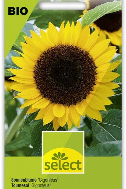 Bio Sonnenblume 'Giganteus'
