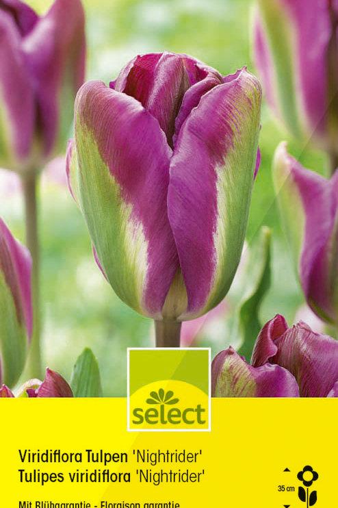 Viridiflora Tulpen 'Nightrider' - Tulipa