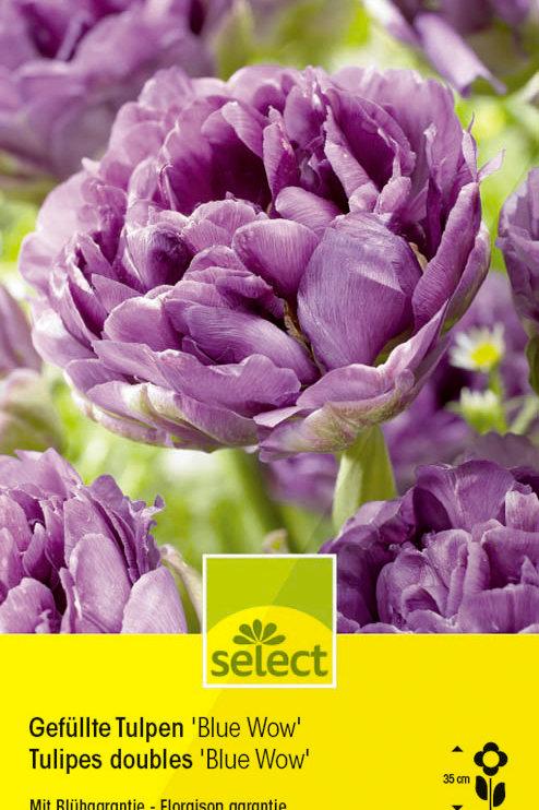 Gefüllte Tulpen 'Blue Wow' - Tulipa