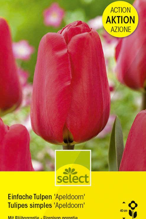 Einfache Tulpen 'Apeldoorn' Grosspackung - Tulipa