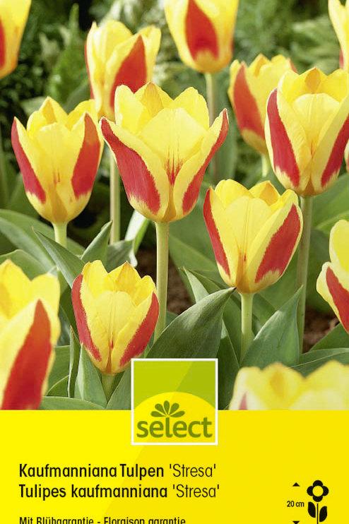 Kaufmanniana Tulpen 'Stresa' - Tulipa kaufmanniana