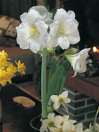 Ritterstern Amaryllis im Topf  weiss - Amaryllis