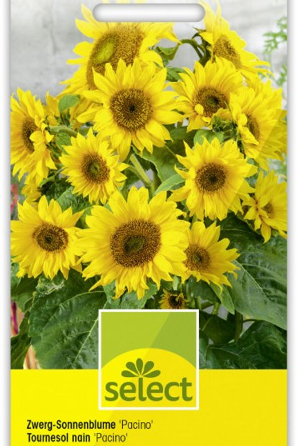 Zwerg-Sonnenblume 'Pacino'