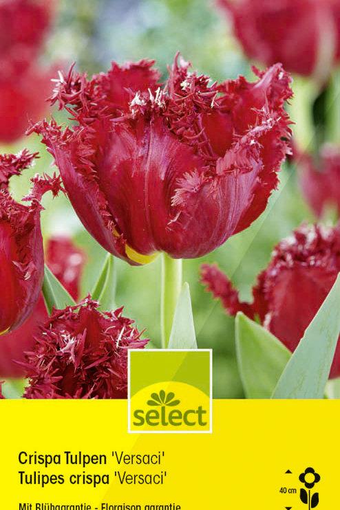 Crispa Tulpen 'Versaci' - Tulipa