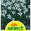 Thumbnail: Sterngladiole, äthiopische Gladiole - Gladiola callianthus (Acidantera)