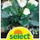 Thumbnail: Calla 'Aethiopica' - Zantedeschia aethiopica