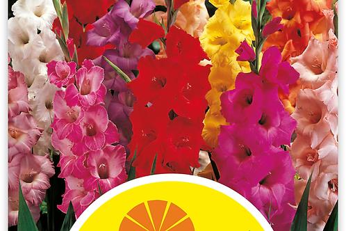 Gladiolen, Mischung, Grosspackung - Gladiolus