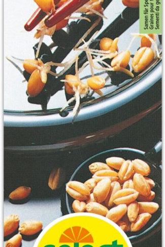 Keimlinge Weizen
