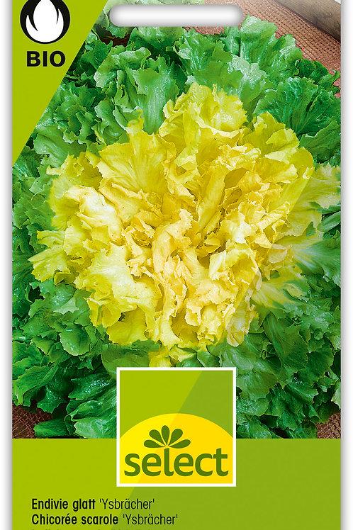 Endivie glatt 'Ysbrächer' - Cichorium endivia L. var. latifolium
