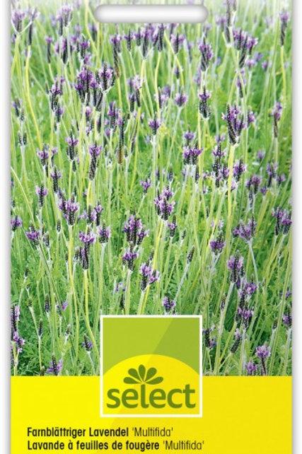 Farnblättriger Lavendel 'Multifida'