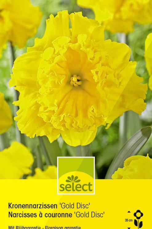 Narzissen 'Gold Disc' - Narcissus