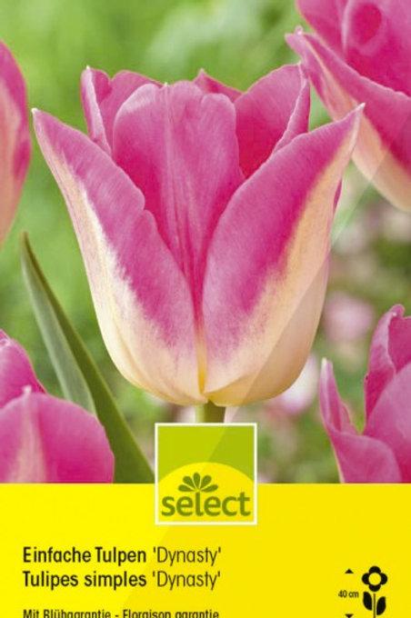 Einfache Tulpen 'Dynasty'