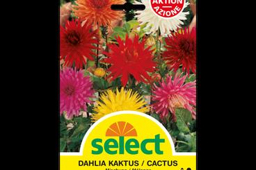 Kaktus-Dahlien, Mischung
