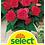 Thumbnail: Begonie, rosa - Begonia tuberhybrida