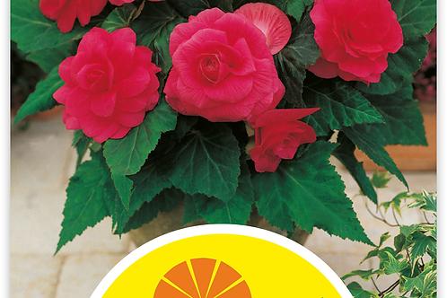 Begonie, rosa - Begonia tuberhybrida