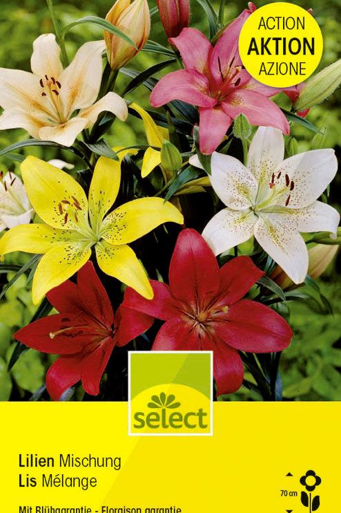Asiatische Lilien, Mischung, Grosspackung - Lilium Liliaceae