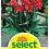 Thumbnail: Indisches Blumenrohr 'Brilliant' - Canna-Indica-Hybriden