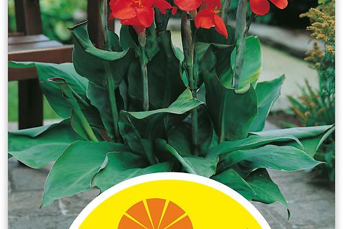 Indisches Blumenrohr 'Brilliant' - Canna-Indica-Hybriden