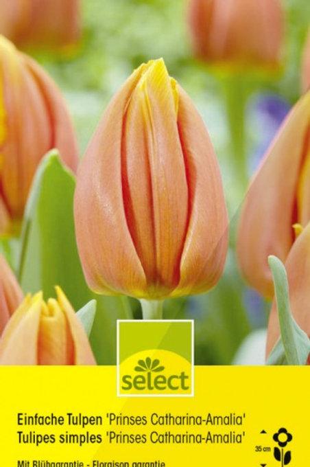 Einfache Tulpen 'Prinses Catharina-Amalia'