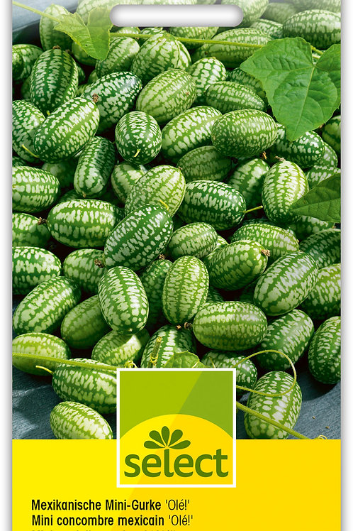 Mexikanische Mini-Gurke 'Olé!' - Zehneria scabra