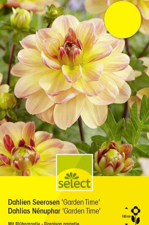 Seerosen-Dahlie 'Garden Time' - Dahlia