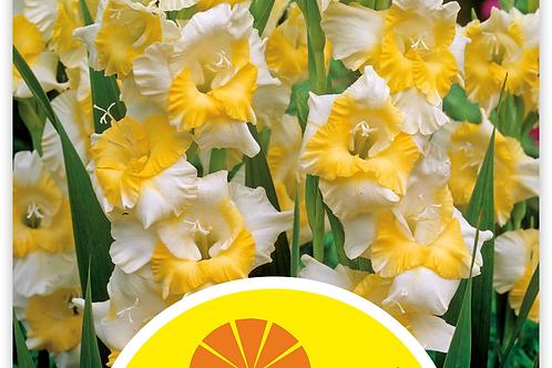 Gladiolen 'Buggy' - Gladiolus