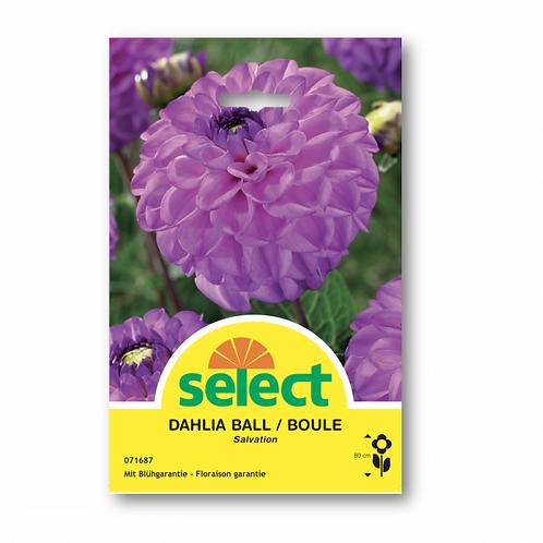 Ball-Dahlie 'Salvation'