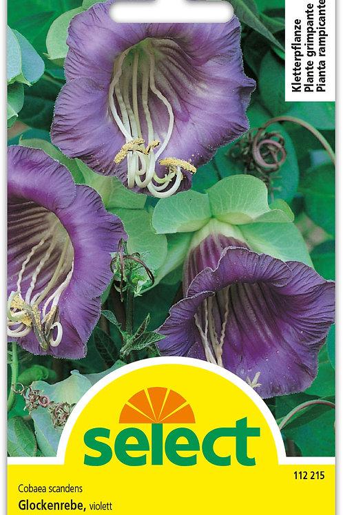 Glockenrebe - Cobaea scandens